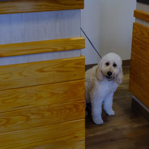 White Poodle At The Oak Heart Longview Grand Opening